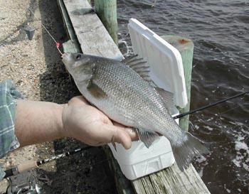White perch for White perch fishing rigs